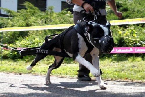 bull-sporty-3