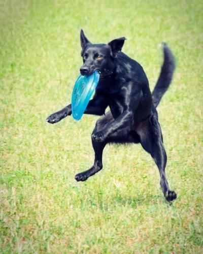 dogfrisbee-1